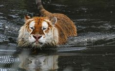 phototoartguy:  A golden tabby tiger called Sapphire relaxes at Olmense Zoo in Antwerp, Belgium. Just 30 of these rare animals are known to exist on the planet, with none left in the wild. Picture: Alida Jorissen / Barcroft Media