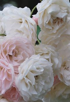 modern gardens, floral delight, english roses, pink roses, soft pink
