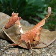 leaf puppi, manti, leaf bug, galleries, brazil