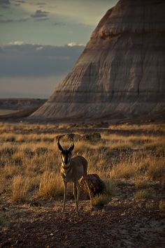 """Pronghorn Antelope"""" Petrified Forest National Park"""" Navajo and Apache County Arizona"""