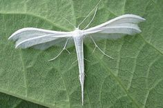 White Plumed Moth, has the shape of a dragonfly and wings like feathers (British)