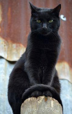Regal black cat..  ♥
