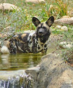 Cooling Off Time anim conserv, safari anim, wildlif earth, african wildlif, wild dog, fantast anim, exot anim