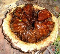 Why should Brazil nuts actually be called Bolivia nuts?