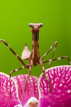 Peacock Mantis on an Orchid