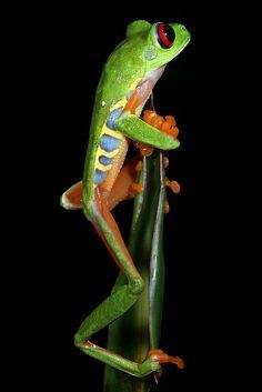 Agalychnis callidryas, Red eye tree frog, Panama