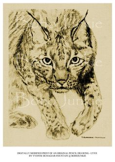 how to draw a realistic lynx