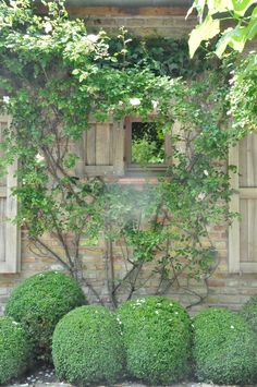 climbing roses and boxwood spheres