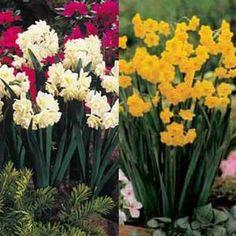 Daffodil Plants
