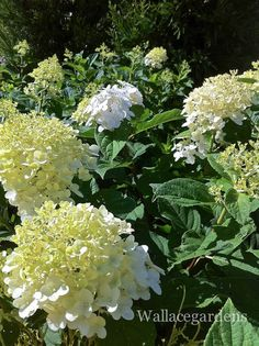 Hydrangea 'Limelight' for full sun. My flower garden gets pretty much full sun and this one does great.