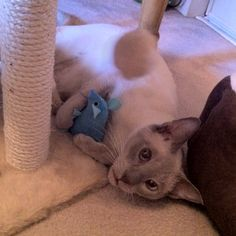 My adorable Lilac Point Siamese kitty Orson playing with his mouse!