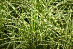 Klehm's Song Sparrow Farm and Nursery--Sun Perennials--Miscanthus sinensis 'Gold Breeze' PP22,311