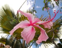 Hilo Hibiscus, variegated and pink