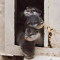 It's like the otter Marx Brothers.