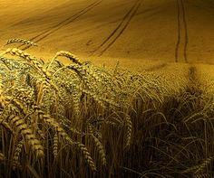 Wheat fields of Kansas