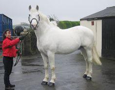 pretti hors, beauty hors, draft hors, irish draught horses, sport hors