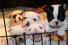 puppies, bulldog puppi, pet, cuti, pit bull, french bulldog, babi, ador anim, thing