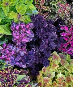 Placing deep-hued 'Midnight Rambler' coleus front and center allows the variegated foliage around it to really shine. | Photo: Matthew Benson | thisoldhouse.com