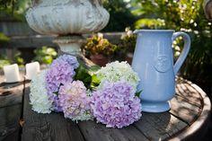 All Things Farmer: Hydrangeas Part 1: Meet LEONA