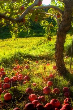 I would Love to have an apple tree in my future backyard someday!