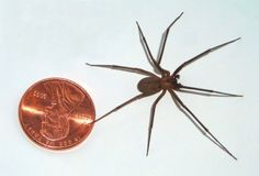 Notice The Size Of The Brown Recluse Spider Compared To A Penny