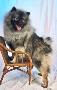 Lovely Keeshond. Looks just like my Gus Gus!