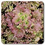 Organic Red Sails Lettuce..perfect every time