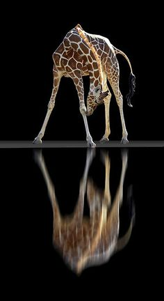 Giraffe with Awesome Reflection