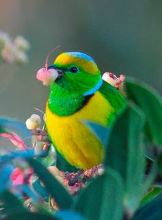 Golden-Browed Chlorophonia | Steve Blain, via Flickr. #bird #nature #colorful #animal #color #turquoise #blue #green #yellow #pink #wildlife #photography