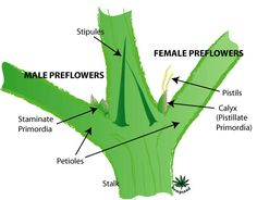 "This diagram shows the difference between male and female ""pre-flowers."" These are the first signs of plant gender. It's important to be able to tell male from female plants as only female cannabis produces bud. Most cannabis growers remove male plants immediately after they show their gender, because male cannabis plants produce pollen that can cause seedy buds (plus they don't make any buds of their own)."