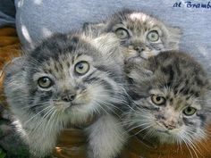 The Many Identities of the Pallas' Cat - The Pallas's Cat (or the Manul as it is often called) has quite the stocky posture and long, dense fur that give it the appearance of an overly stuffed stuffed animal. It's eyes are unique in that it has round pupils instead of slits like most other small cats. Pallas's Cat has shorter legs than those of other cats and ears which are set very low and wide apart. It's also pretty flat-faced. Cool?