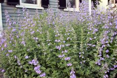 """'Walker's Low' catmint (Nepeta x faassenii 'Walker's Low'). Sweetly scented foliage and clear lavender flowers are trademarks, and it thrives in lean soil and sun. This """"cat"""" grows to about 3 feet high and wide, and it's wise to give it that much space to spread. Catmint (Nepeta, USDA zones 3 to 9) is another fast-growing, easy-to-propagate plant that mimics lavender's growth habit and style."""
