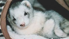 What changes can you expect in your ferrets as they age?