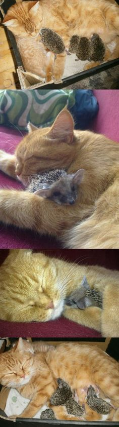 kitten, pet, hedgehogs, special friends, baby animals, animal babies, ginger cats, kitty, baby cats