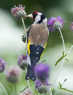 European Goldfinch. From pixdaus.com.