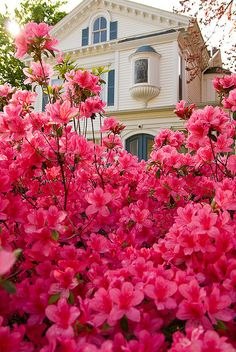 "Lovely Flowerbed of Azaleas, Tyler and East Texas are known for beautiful displays of flowers.  Tyler celebrates Spring & Azaleas with annual ""Azalea Trails"""