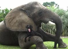 Bella and Bubbles are perhaps the oddest of odd couples. Bella is a 6-year-old Black Lab; Bubbles, her best friend, is a 32-year-old elephant.