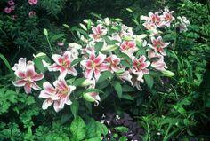L. speciosum roseum