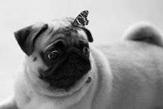 Pug with butterfly