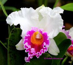 Rhyncholaeliocattleya Memoria Tiang orchid hybrid, memoria tiang