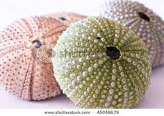 sea shell, sea urchins, sea ranch, spray paint, urchin shell