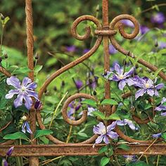 Plant Rambling Vines | Clematis is one of the showiest vines we have. It offers blossoms of blue, purple, red, pink, or white. | SouthernLiving.com