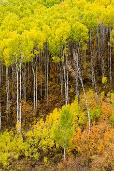 aspen trees..