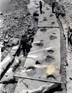 Dinosaur tracks in prehistoric limestone are removed from the bed of the Paluxy River in Texas