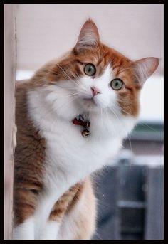 ginger & white cat