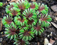 Oxalis adenophylla 'Purple Heart'