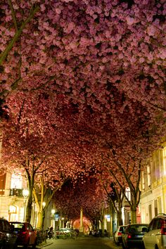 Another view of the cherry blossom street by Adas Meliauskas, via 500px bucket list, cherri blossom, blossom trees, germany, germani, cherries, place, bonn, cherry blossoms