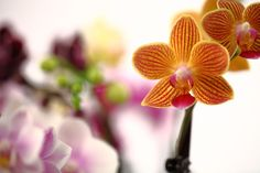 yellow miniature orchid