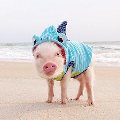 Did you celebrate #sharkweek? #PrissyPig rocks the #marthastewartpets #shark hoodie effortlessly.
