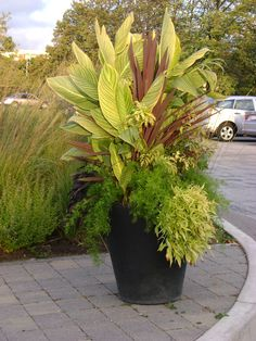 I love variegated Cannas.  I also love them planted in massive pots.  Toronto Botanical Garden container